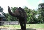 Si Gajah Lagi Caper alias Cari Perhatian Ke pengunjung, biar di kasih makan ...
